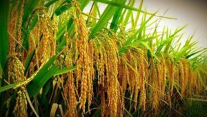4-448m-acres-to-be-brought-under-rice-cultivation-in-punjab-1526782257-9601